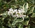 銀姬小蠟 Ligustrum sinense 'Variegatum' -香港青衣海濱公園 Tsing Yi Promenade, Hong Kong- (9237475855).jpg