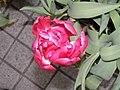 鬱金香-重瓣 Tulipa gesneriana -香港公園 Hong Kong Park- (9207640654).jpg