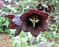 黑貝母 Fritillaria camschatcensis -日本大阪鮮花競放館 Osaka Sakuya Konohana Kan, Japan- (41556108174).jpg