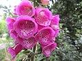-2020-06-08 Foxglove flower, Southrepps, Norfolk.JPG