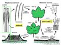 04 03 16 ciclo de vida, Rhytisma acerinum, Rhytismatales, Ascomycota (M. Piepenbring & C.-L. Hou).png
