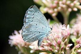 Vrouwelijk boomblauwtje