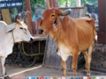 14.04a Cows in India.tif
