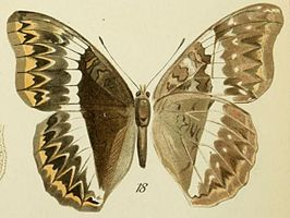 18-Cymothoe herminia (Grose-Smith, 1887) (Cymothoe sultani).JPG
