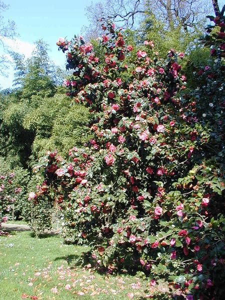 File 20040413 camellia japonica jpg wikimedia commons - Cuidados de la camelia japonica ...