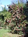 20040413 Camellia Japonica.JPG