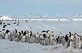 2007 Snow-Hill-Island Luyten-De-Hauwere-Emperor-Penguin-37.jpg