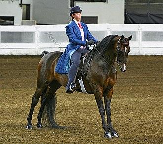 Morgan horse - A Morgan in horse show competition