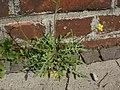 20120629Diplotaxis tenuifolia2.jpg