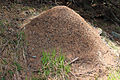 2013-05-09 Ameisenhaufen in Südtirol Formicidae anagoria.JPG