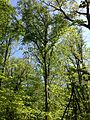 2014-05-11 10 37 00 View of a large American Beech tree from the Old Forge Trail in Clayton Park, Upper Freehold Township, New Jersey.JPG
