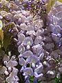 20140504Wisteria floribunda.jpg
