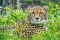 20140812 Cheetah IMG 0821.png