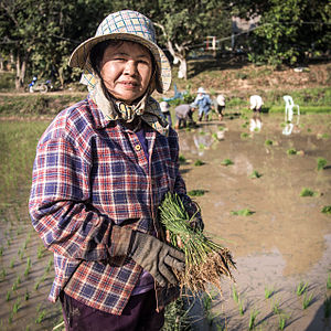 Agriculture in Thailand - Thai farmer with a bundle of young rice plants