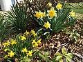 2015-04-13 15 06 51 Daffodils blooming on Terrace Boulevard in Ewing, New Jersey.jpg