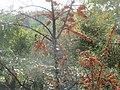 20151024Hippophae rhamnoides1.jpg