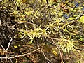 2016-10-25 10 37 54 American Witch-Hazel blooming at the Fishers Gap Overlook along Shenandoah National Park's Skyline Drive on the border of Page County, Virginia and Madison County, Virginia.jpg