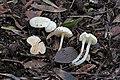 2016-11-29 Entoloma sericellum (Fr.) P. Kumm 699983.jpg