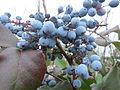 20160109Mahonia aquifolium.jpg