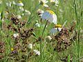 20160520Leucanthemum vulgare2.jpg