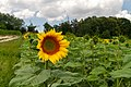 2018-07-15 Sunflowers at Museum of Folk Architecture and Ethnography in Pyrohiv, Kyiv, Ukraine 6.jpg
