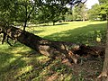 2019-05-26 16 56 48 A Cherry tree broken during a storm, with all the lower leaves having been eaten by deer, along a walking path in the Franklin Glen section of Chantilly, Fairfax County, Virginia.jpg