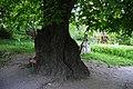 250-річна липа на території садиби М. Коцюбинського P1120509.jpg