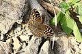301眼紋擬蛺蝶19(郭月秀攝) (12944802474).jpg