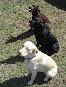 three labrador retrievers: white, black and chocolate