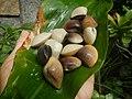 4022Common houseflies cats ants plants foods of Bulacan 16.jpg