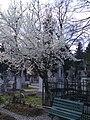 5. Bucuresti, Romania. Cimitirul Bellu Catolic. Reculegere sub un pom inflorit. (2).jpg