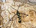 52.012 BF374 Yellow-legged Clearwing Synanthedon vespiformis, male (3584340331).jpg