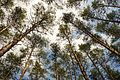 71-249-5012 Dubiivka Pines SAM 7681.jpg