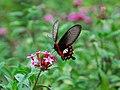 77紅紋鳳蝶1(蔡鴻銘攝) (19017471666).jpg