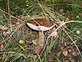 A Brown Birch Bolete - geograph.org.uk - 1003618.jpg