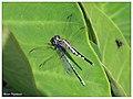A Trumpet tail dragonfly(മകുടി വാലൻ) - male eating a blue grass dartlet-000115- copy (15040642336).jpg