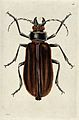 A beetle. Coloured etching by R. P. Nodder. Wellcome V0020947.jpg