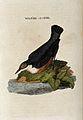 A bird; a dipper. Coloured engraving. Wellcome V0022268.jpg