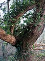 A bizarrely bent and twisted old tree - geograph.org.uk - 653408.jpg
