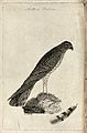 A falcon or kestrel and one of its tail feathers. Etching by Wellcome V0022192.jpg