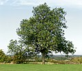 A mature ash tree near Potash Farm - geograph.org.uk - 1498929.jpg