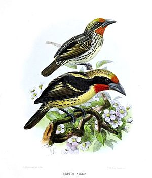 A monograph of the Capitonidæ, or scansorial barbets (19553239854), crop.jpg