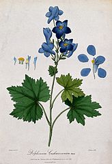 A plant (Delphinium cashmerianum Royle); flowering stem with Wellcome V0043108.jpg