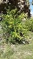 A pomegranate tree near the Dabovici railway station (Montenegro).jpg