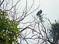 A vulture sitting on a tree on a hot summer day.jpg
