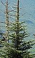 Abies fraseri (Fraser fir) (Clingmans Dome, Great Smoky Mountains, North Carolina, USA) 2 (36843581862).jpg
