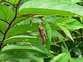 Abisares viridipennis hylaeus female.jpg