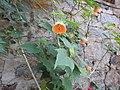 Abutilon hybridum apricot-1-yercaud-salem-India.jpg