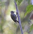Abyssinian Woodpecker.jpg