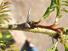 AcaciaXanthophloeaSpines.JPG